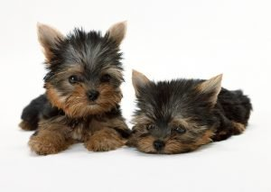 teacup puppies for sale