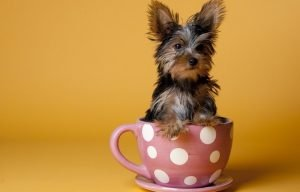 teacup yorkies for sale