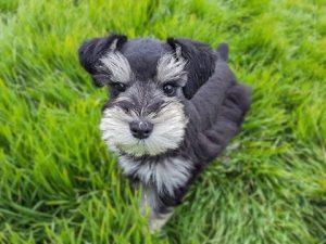 schanuzer puppies for sale