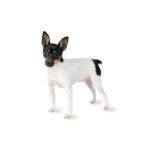 PetCenter Old Bridge Puppies For Sale Toy Fox Terrier