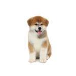 PetCenter Old Bridge Puppies For Sale Akita