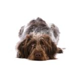PetCenter Old Bridge Puppies For Sale German Wirehaired Pointer