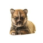 PetCenter Old Bridge Puppies For Sale Pomsky