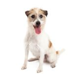 PetCenter Old Bridge Puppies For Sale Jack Russell Terrier