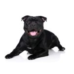 PetCenter Old Bridge Puppies For Sale Staffordshire Bull Terrier