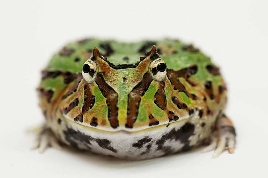 Pack Man Frog