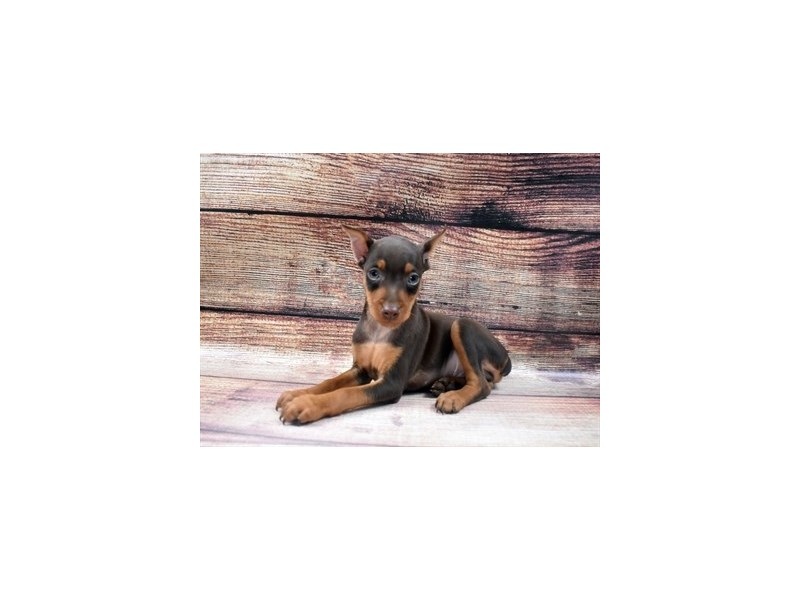 Miniature Pinscher-Male-Chocolate and Tan-2965111-PetCenter Old Bridge Puppies For Sale