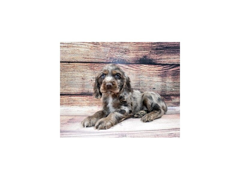 Cocker Spaniel-Male-Brown and Tan-2965118-PetCenter Old Bridge Puppies For Sale