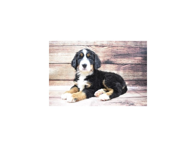 Bernese Mountain Dog-Female-Black Rust and White-2965125-PetCenter Old Bridge Puppies For Sale