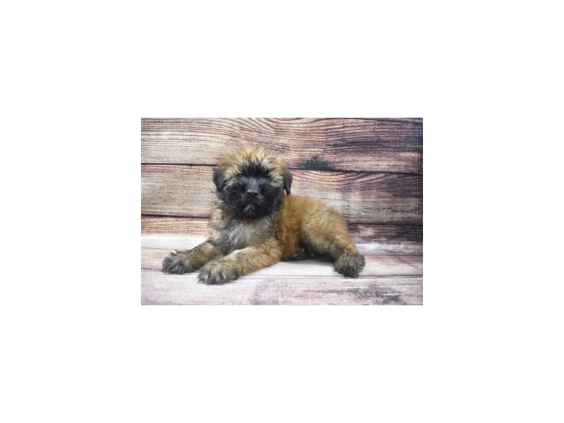 Soft Coated Wheaten Terrier-Male-Wheaten-2965127-PetCenter Old Bridge Puppies For Sale