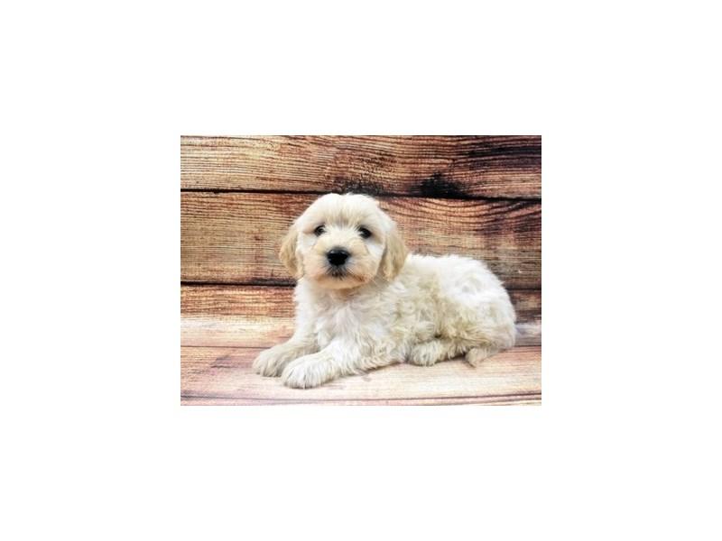 Mini Goldendoodle-Male-Light Golden-2965128-PetCenter Old Bridge Puppies For Sale
