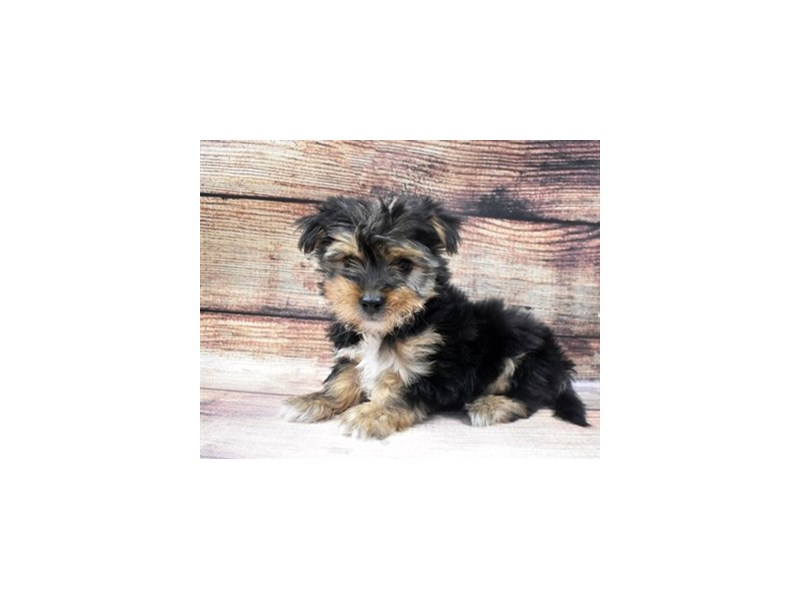 Morkie-Male-Black and Tan-2965132-PetCenter Old Bridge Puppies For Sale