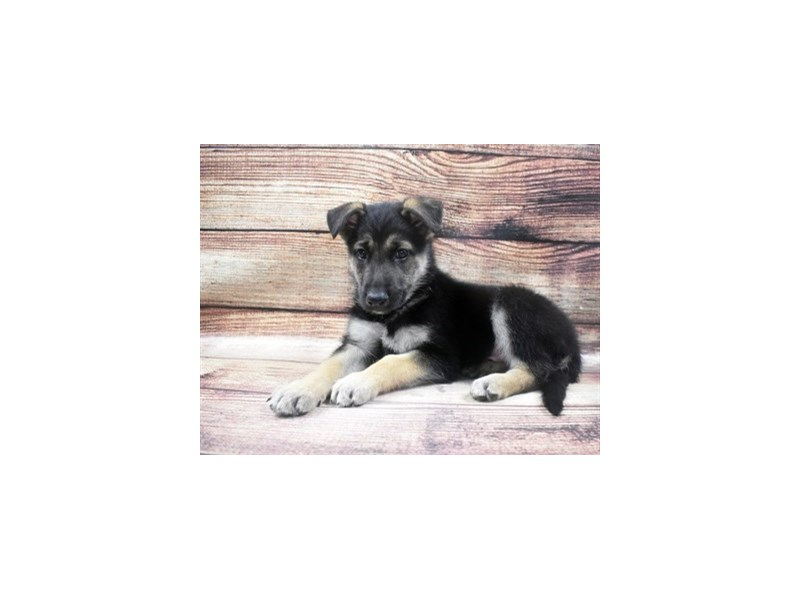 German Shepherd-DOG-Male-Black and Tan-2965152-PetCenter Old Bridge Puppies For Sale