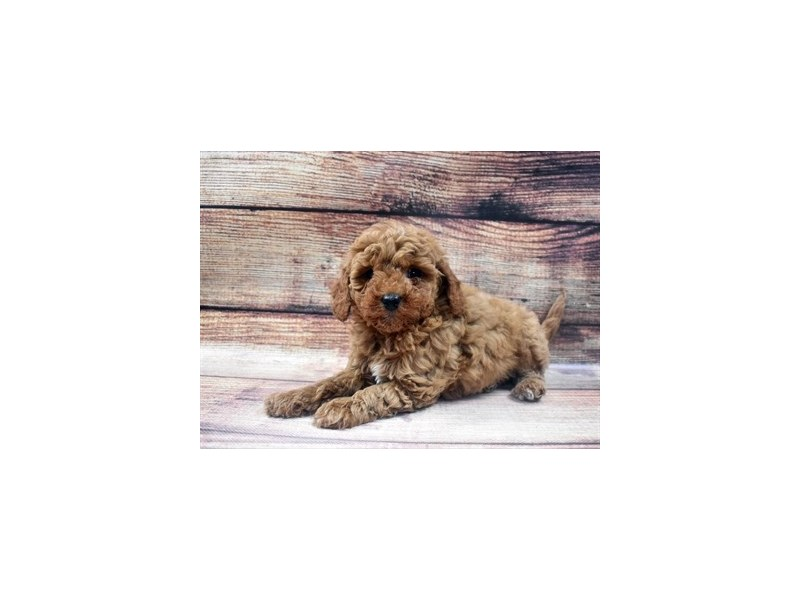 Mini Goldendoodle 2nd Gen-Female-Red-2965153-PetCenter Old Bridge Puppies For Sale