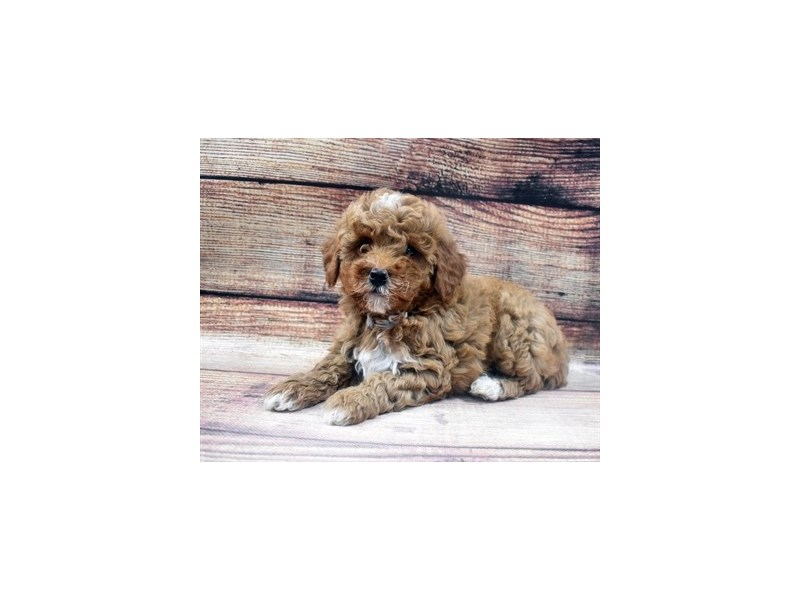 Mini Goldendoodle 2nd Gen-Male-Red-2965154-PetCenter Old Bridge Puppies For Sale