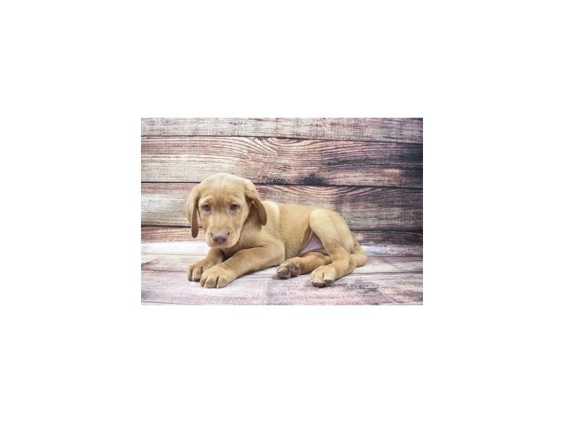 Labrador Retriever-Male-Yellow-2973310-PetCenter Old Bridge Puppies For Sale