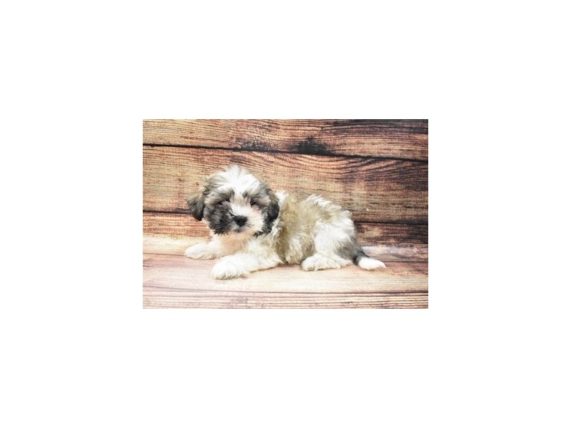 Teddy Bear-Female-Silver Gold and White-2973312-PetCenter Old Bridge Puppies For Sale