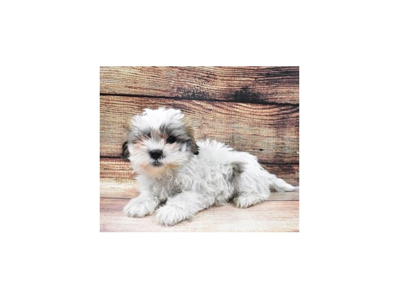 Teddy Bear-DOG-Male-Gold and White-2973313-PetCenter Old Bridge Puppies For Sale