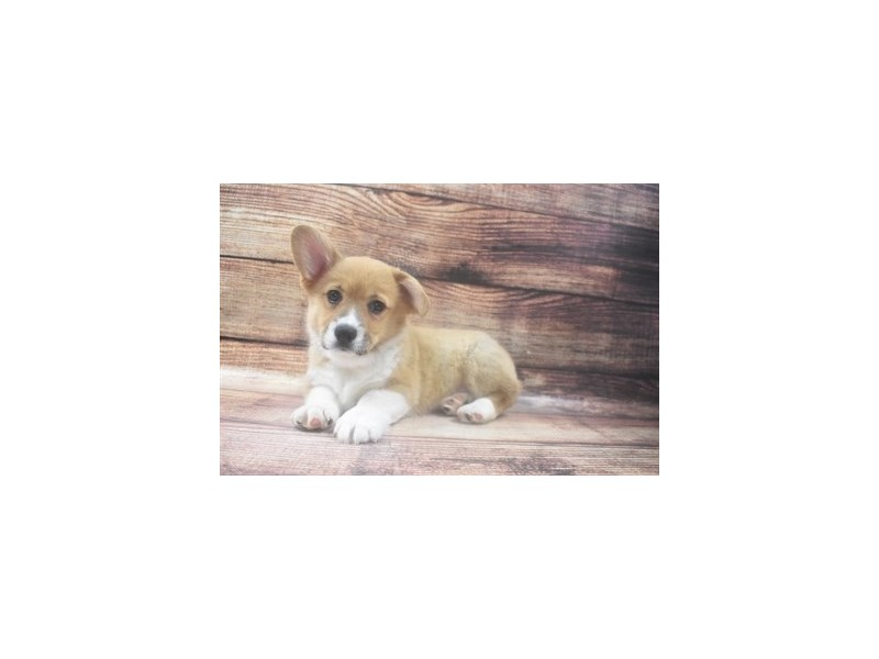 Pembroke Welsh Corgi-Male-Sable-2973316-PetCenter Old Bridge Puppies For Sale