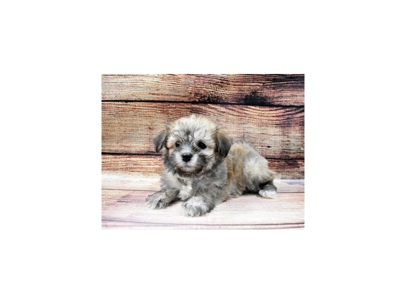 Havanese-DOG-Female-Red Sable-2980895-PetCenter Old Bridge Puppies For Sale