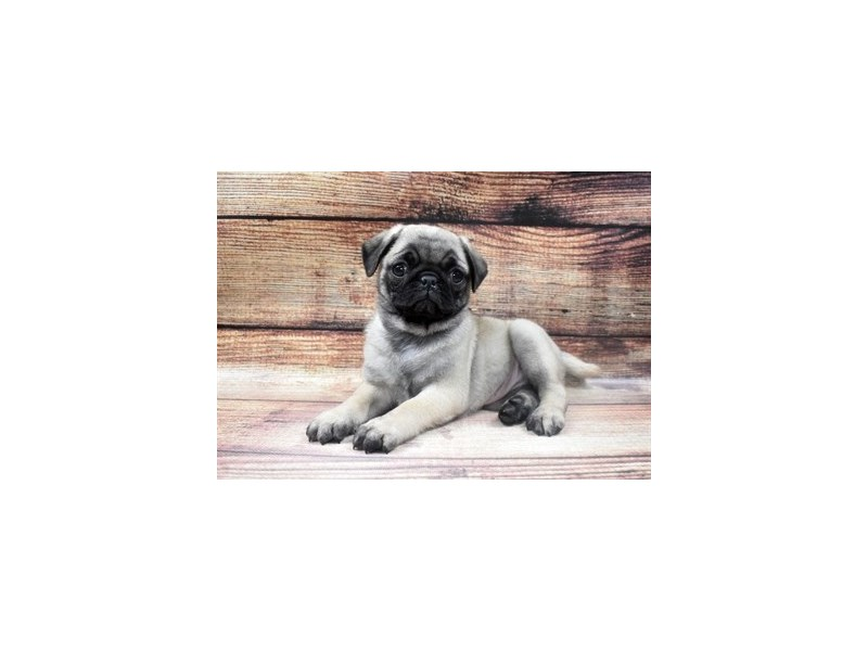 Pug-DOG-Female-Fawn-2965142-PetCenter Old Bridge Puppies For Sale