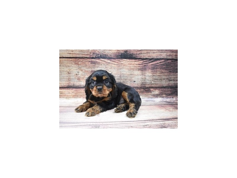 Cavalier King Charles Spaniel-DOG-Male-Black and Tan-2973030-PetCenter Old Bridge Puppies For Sale