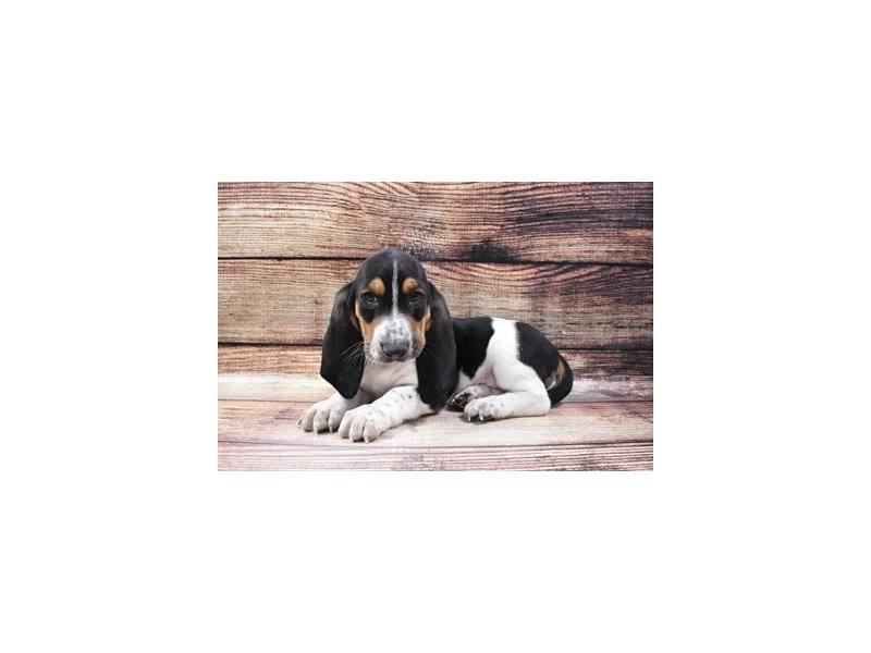 Basset Hound-Male-Black Brown and White-2973304-PetCenter Old Bridge Puppies For Sale