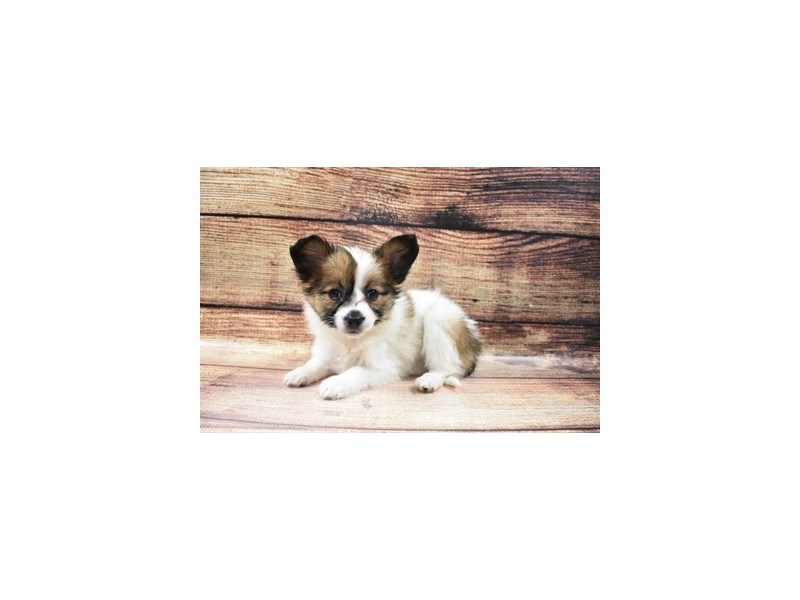 Papillon-Female-White and Sable-2973305-PetCenter Old Bridge Puppies For Sale