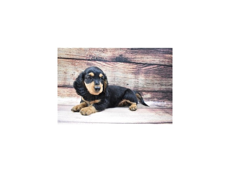 Dachshund-DOG-Male-Black and Tan-2973315-PetCenter Old Bridge Puppies For Sale