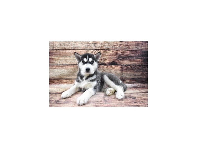 Siberian Husky-DOG-Male-Black and White-2973317-PetCenter Old Bridge Puppies For Sale