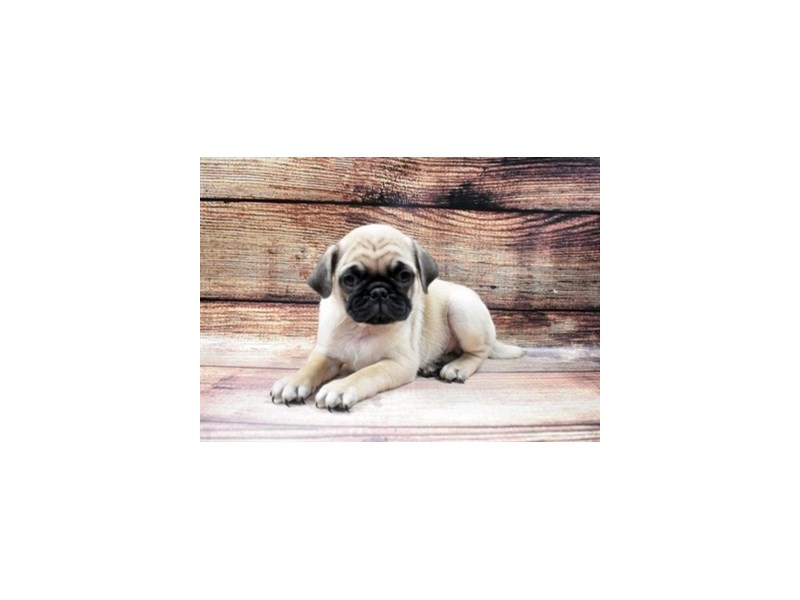 Pug-DOG-Male-Fawn-2980831-PetCenter Old Bridge Puppies For Sale