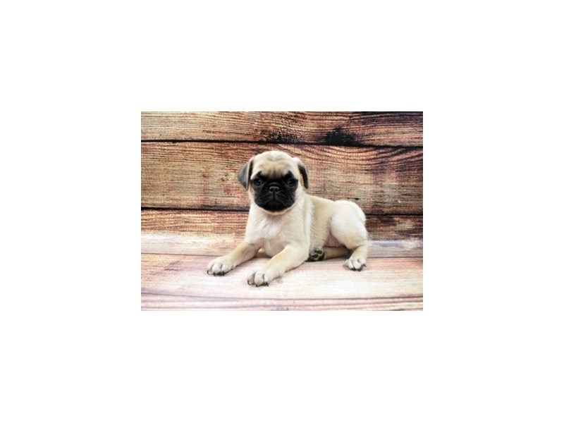 Pug-DOG-Female-Fawn-2980833-PetCenter Old Bridge Puppies For Sale