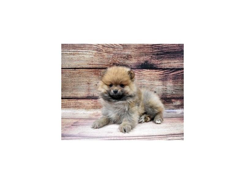 Pomeranian-DOG-Male-Orange Sable-2980899-PetCenter Old Bridge Puppies For Sale