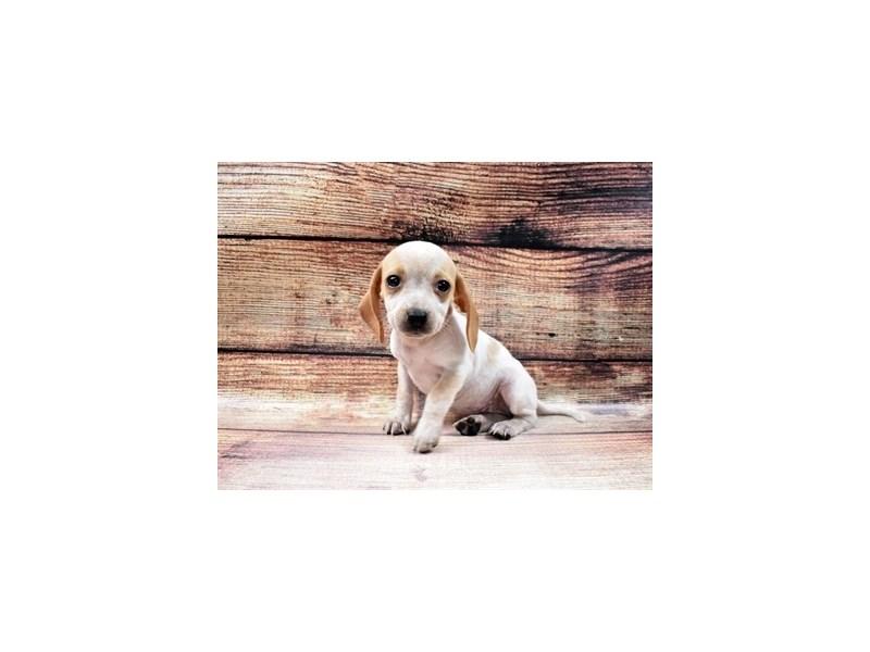 Beagle-DOG-Female-Lemon and White-2980917-PetCenter Old Bridge Puppies For Sale