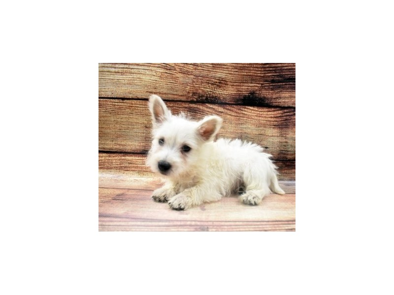West Highland White Terrier-DOG-Male-White-2980932-PetCenter Old Bridge Puppies For Sale