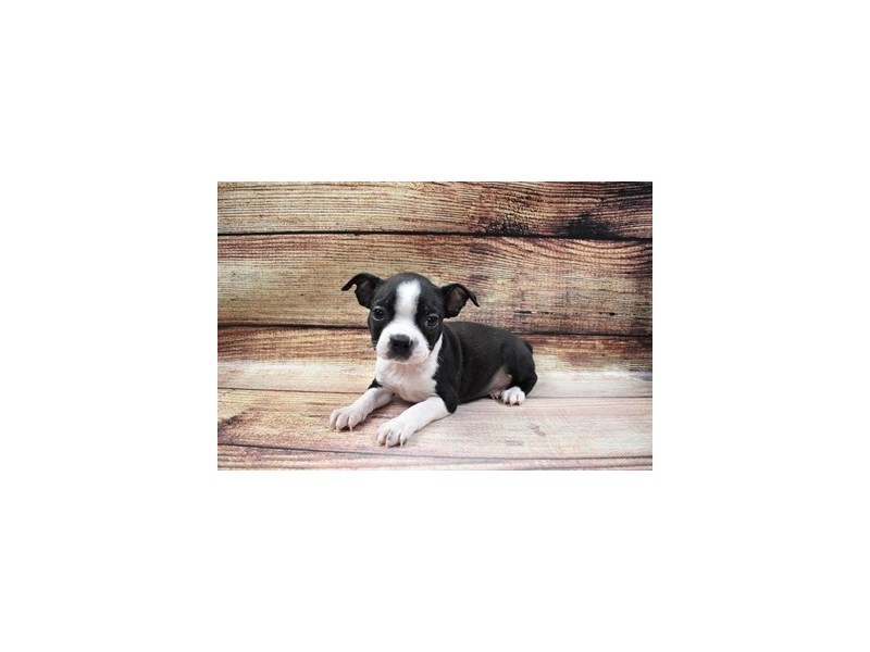 Boston Terrier-DOG-Female-Black and White-2980950-PetCenter Old Bridge Puppies For Sale