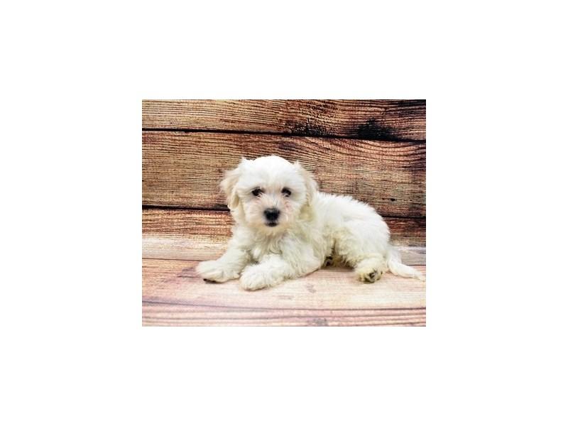 Coton De Tulear-DOG-Female-White-2989690-PetCenter Old Bridge Puppies For Sale