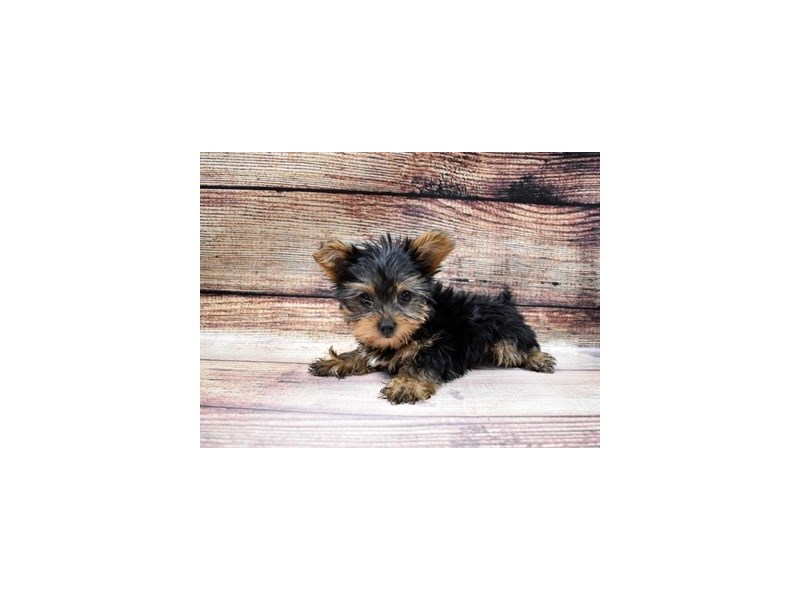 Yorkshire Terrier-DOG-Female-Black and Tan-2989721-PetCenter Old Bridge Puppies For Sale