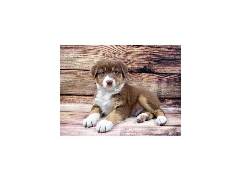 Australian Shepherd-DOG-Male-Red-2989723-PetCenter Old Bridge Puppies For Sale