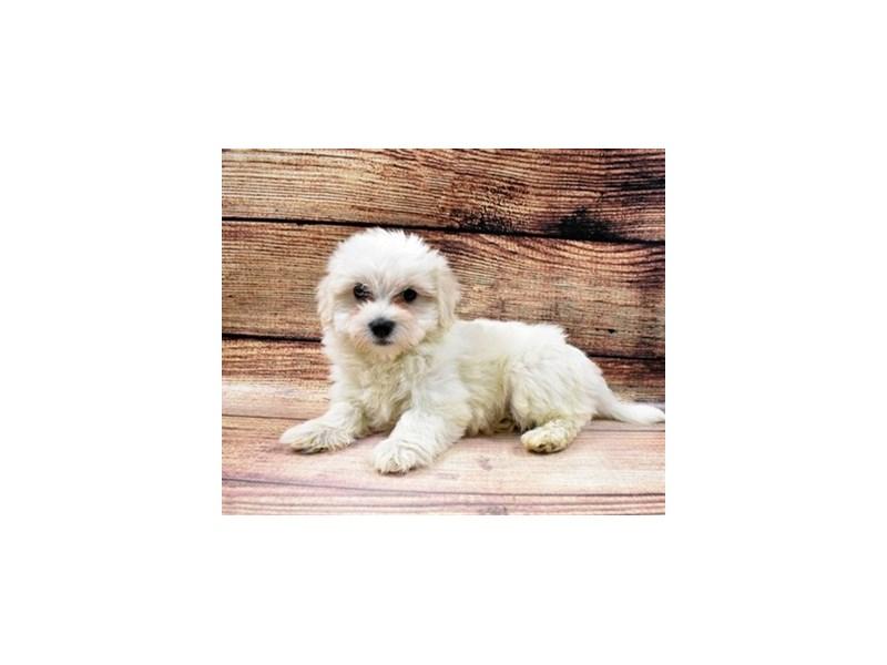 Coton De Tulear-DOG-Male-White-2989724-PetCenter Old Bridge Puppies For Sale