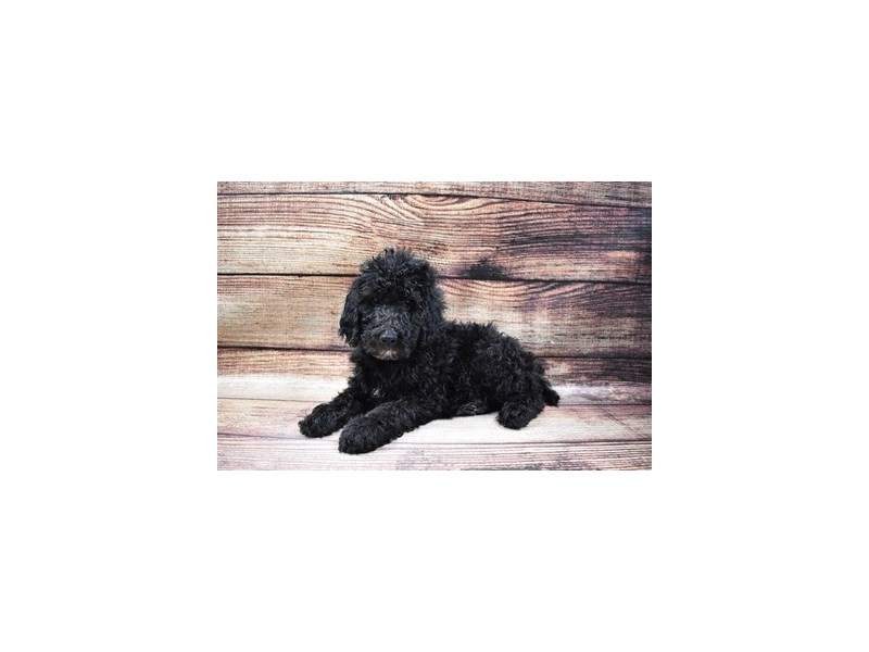Standard Poodle-DOG-Female-Black-2989737-PetCenter Old Bridge Puppies For Sale