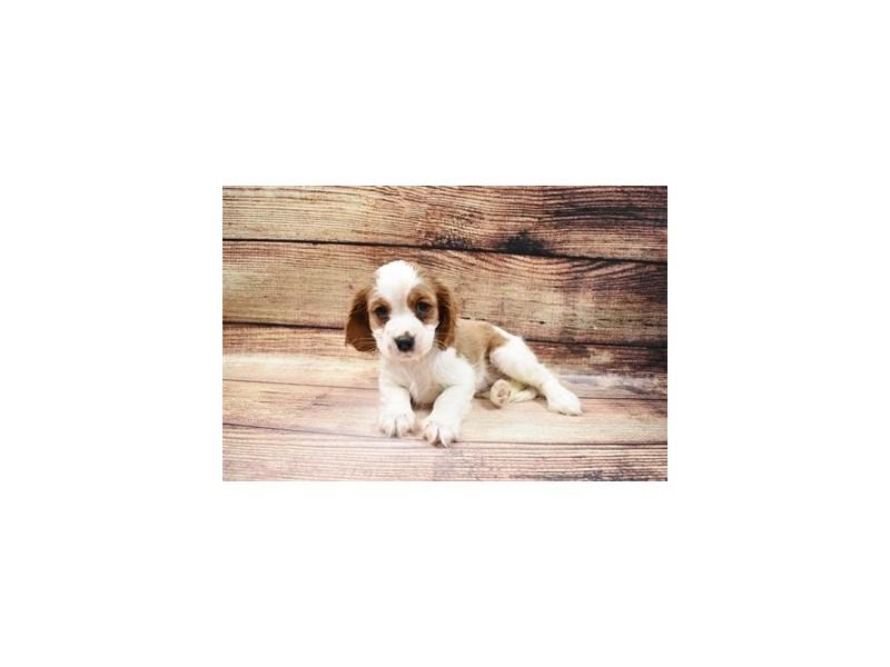 Cavalier King Charles Spaniel-DOG-Female-Blenheim-2989743-PetCenter Old Bridge Puppies For Sale