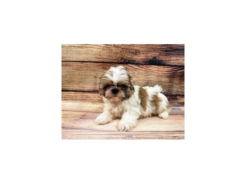 Shih Tzu-DOG-Male-Gold and White-2989777-PetCenter Old Bridge Puppies For Sale