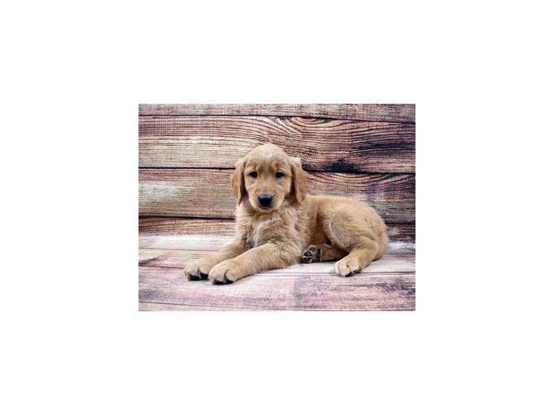 Golden Retriever-DOG-Female-Golden-2989778-PetCenter Old Bridge Puppies For Sale