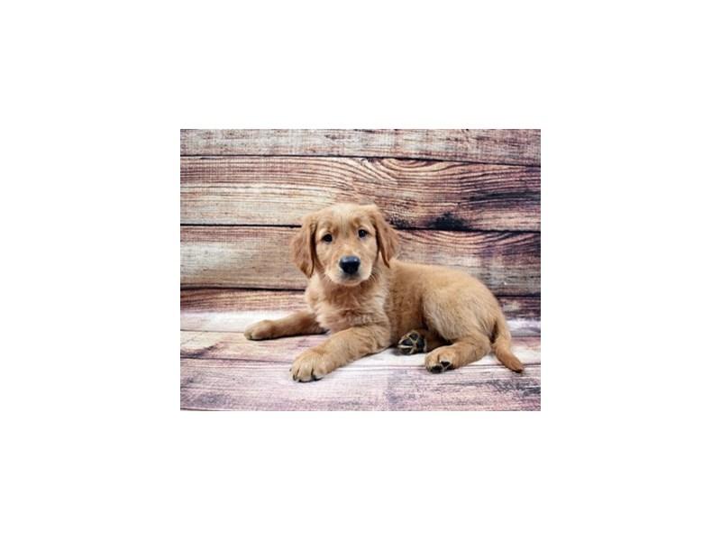 Golden Retriever-DOG-Male-Golden-2989780-PetCenter Old Bridge Puppies For Sale
