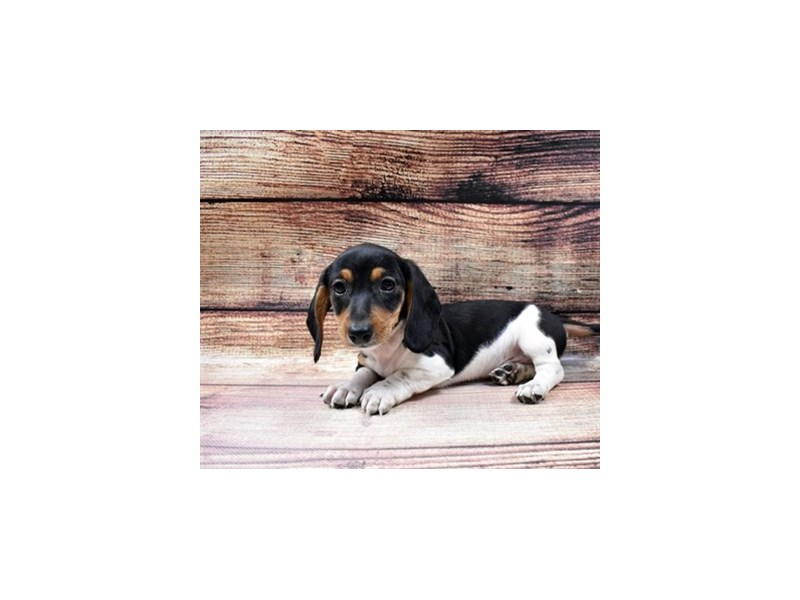 Dachshund-DOG-Male-Black and Tan-2998258-PetCenter Old Bridge Puppies For Sale