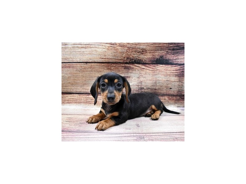 Dachshund-DOG-Male-Black and Tan-2998259-PetCenter Old Bridge Puppies For Sale