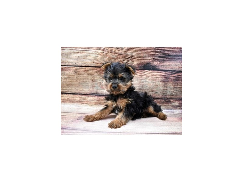 Yorkshire Terrier-DOG-Male-Black and Tan-2998292-PetCenter Old Bridge Puppies For Sale
