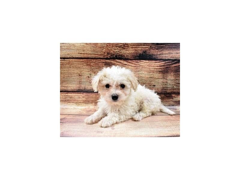Bichon Poo-DOG-Female-Cream-2998300-PetCenter Old Bridge Puppies For Sale