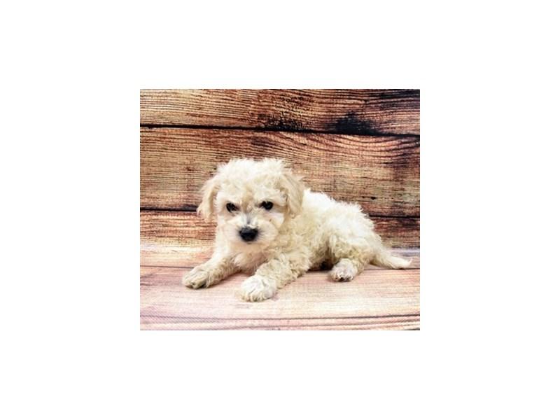 Bichon Poo-DOG-Male-Cream-2998302-PetCenter Old Bridge Puppies For Sale